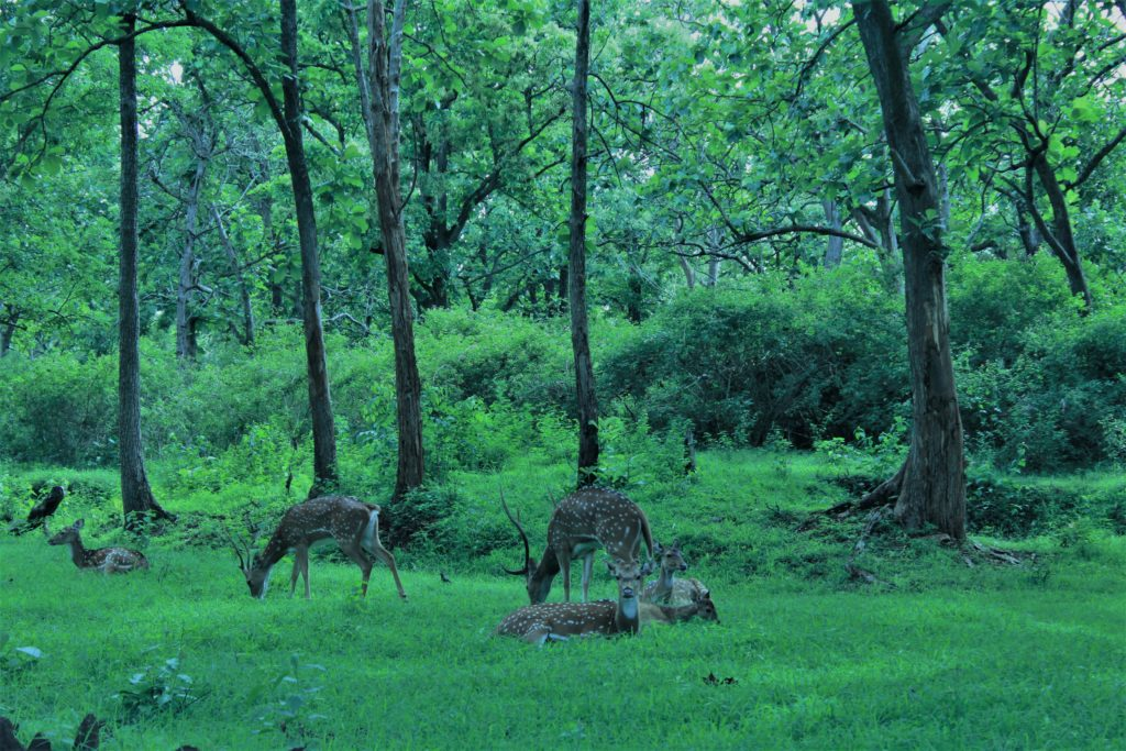The Spotted Deer in Bandipur